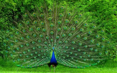 peacock-tail