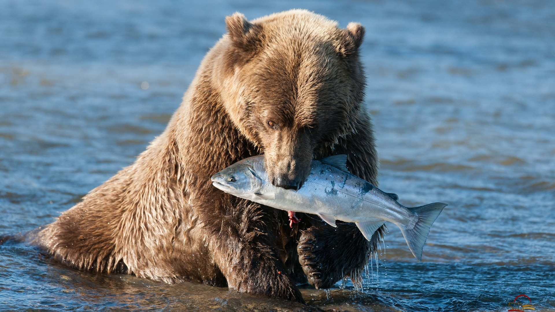 Bear Grizzly Fish Wallpaper