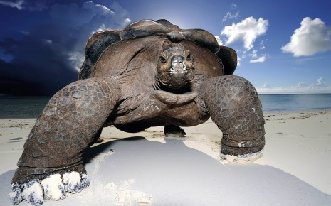 Huge beach turtle HD wallpaper
