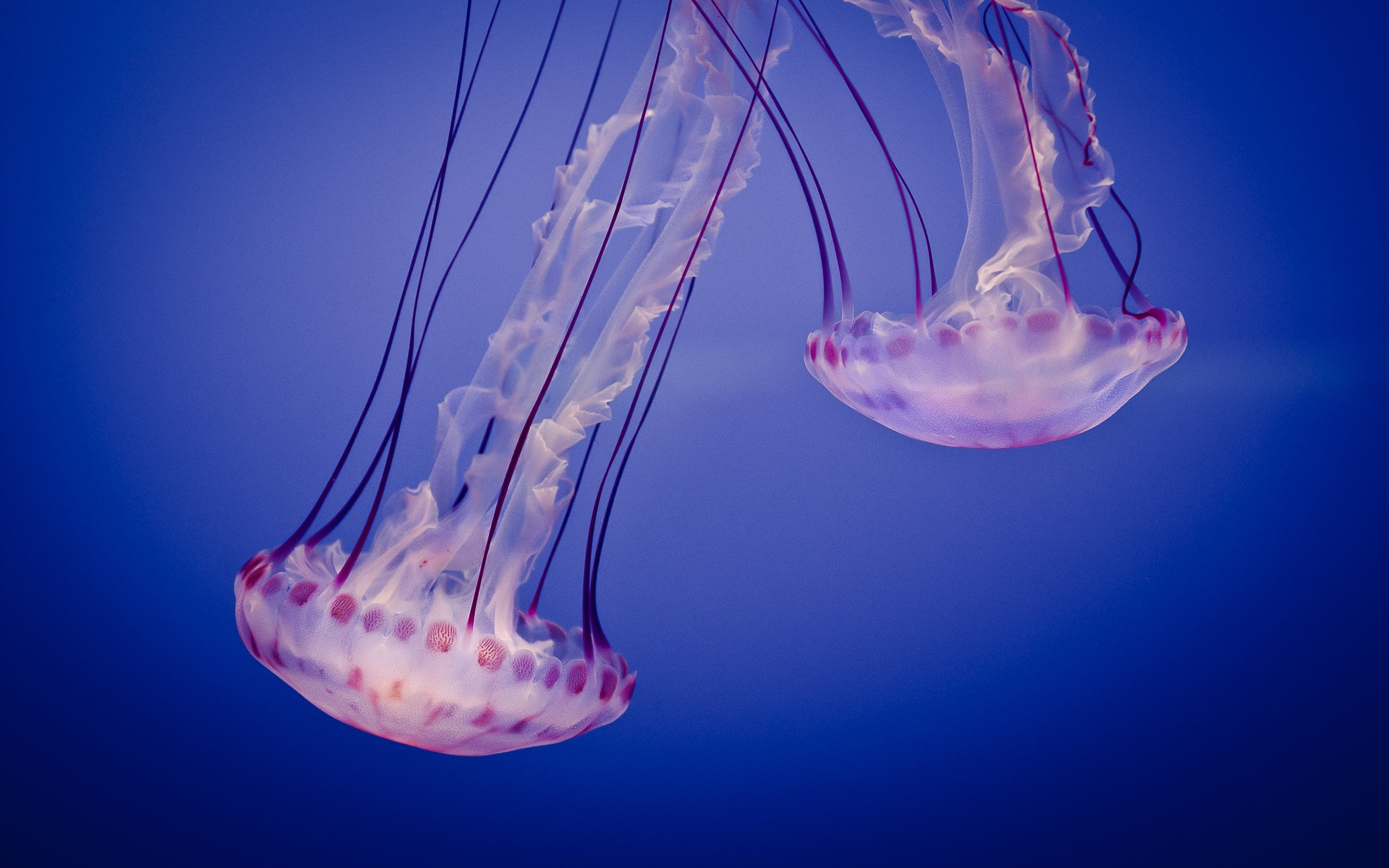 Two jellyfish hd wallpaper hd latest wallpapers - Jellyfish hd images ...