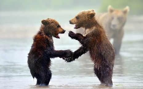 animals bears in Play mood HD wallpaper