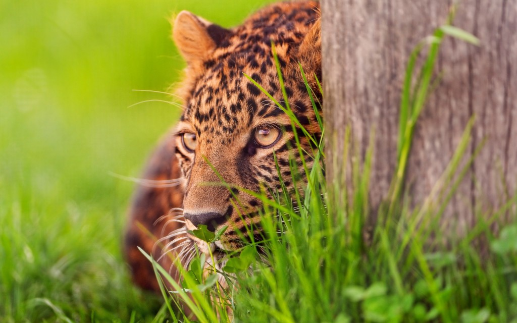 Hidden jaguar wallpaper