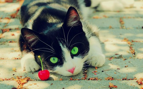 cats animals cherries green eyes feline pets wallpaper