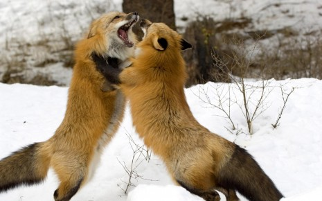 fox fighting HD wallpaper