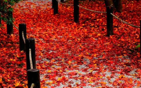 red leaves HD wallpaper