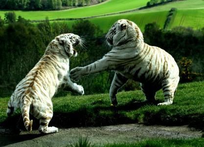 tiger fighting HD wallpaper