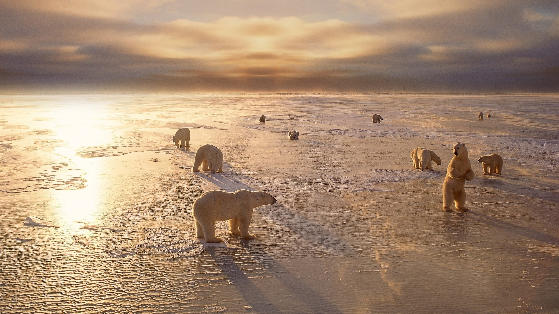 polar bear hd wallpaper | hd latest wallpapers