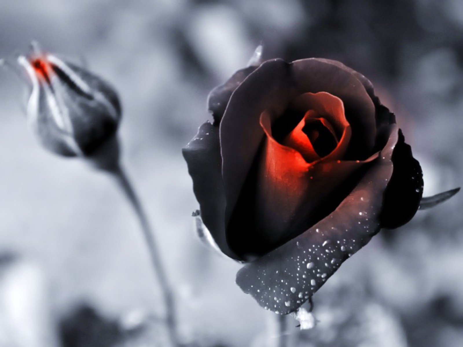 Black Rose HD Wallpaper
