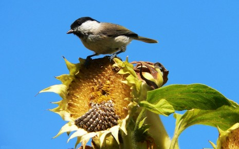 bird on sunflower
