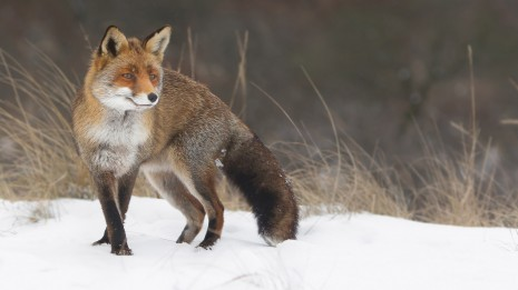 fox-in-the-snow-21154