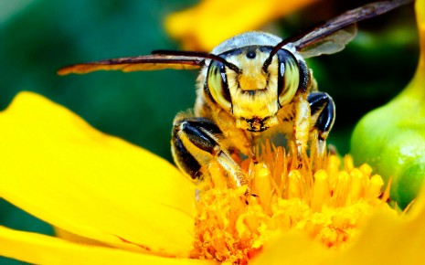 insects bee HD wallpaper