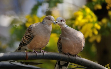 kissing-pigeons-animal-hd-wallpaper-1920x1200-31135