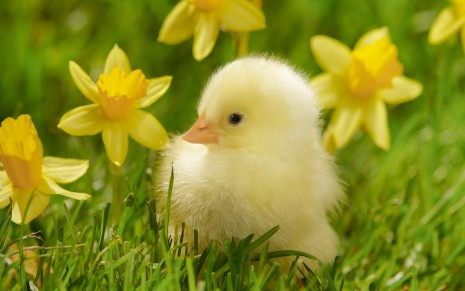 Chick between daffodils