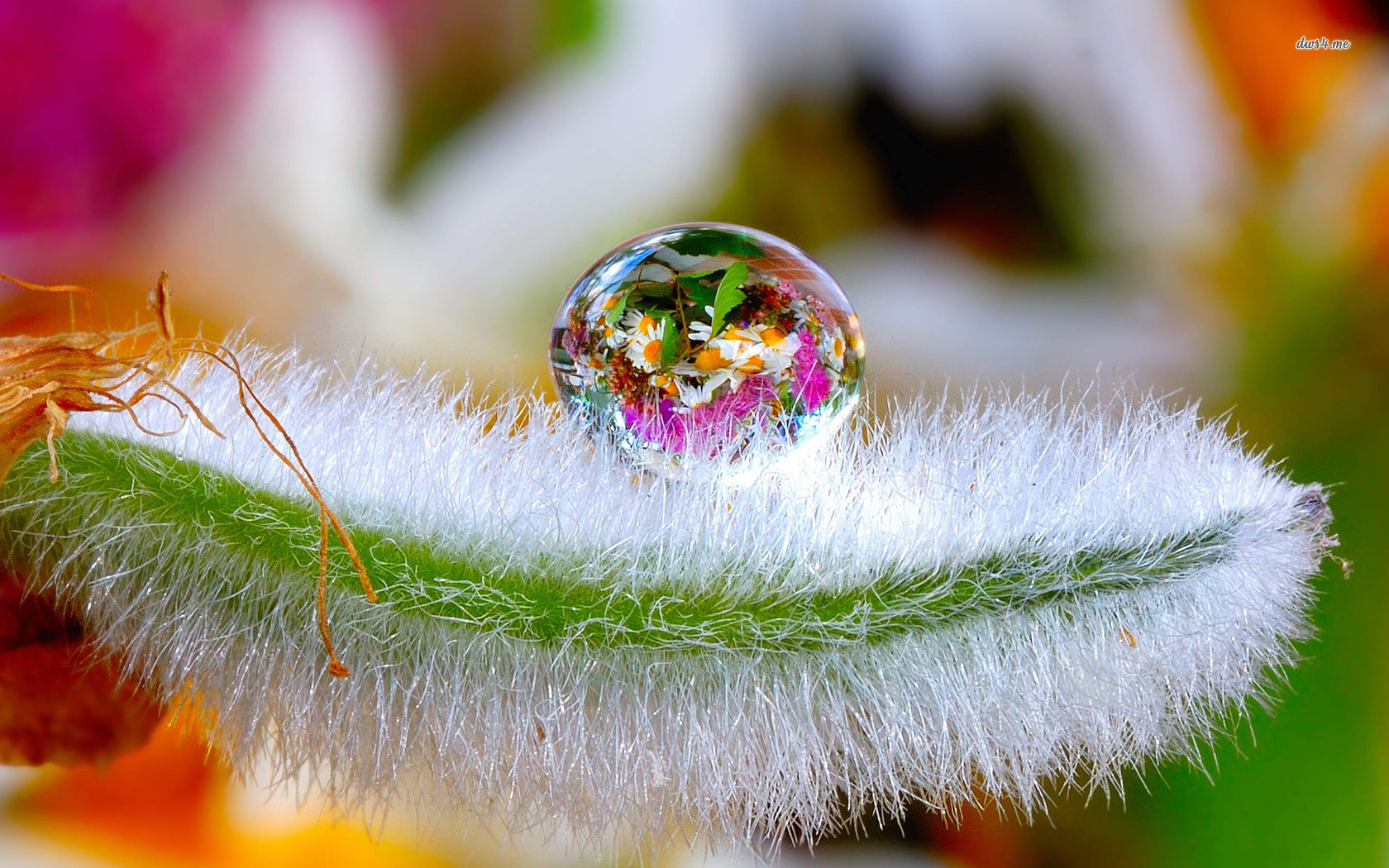 flowers in a water drop hd wallpaper | hd latest wallpapers