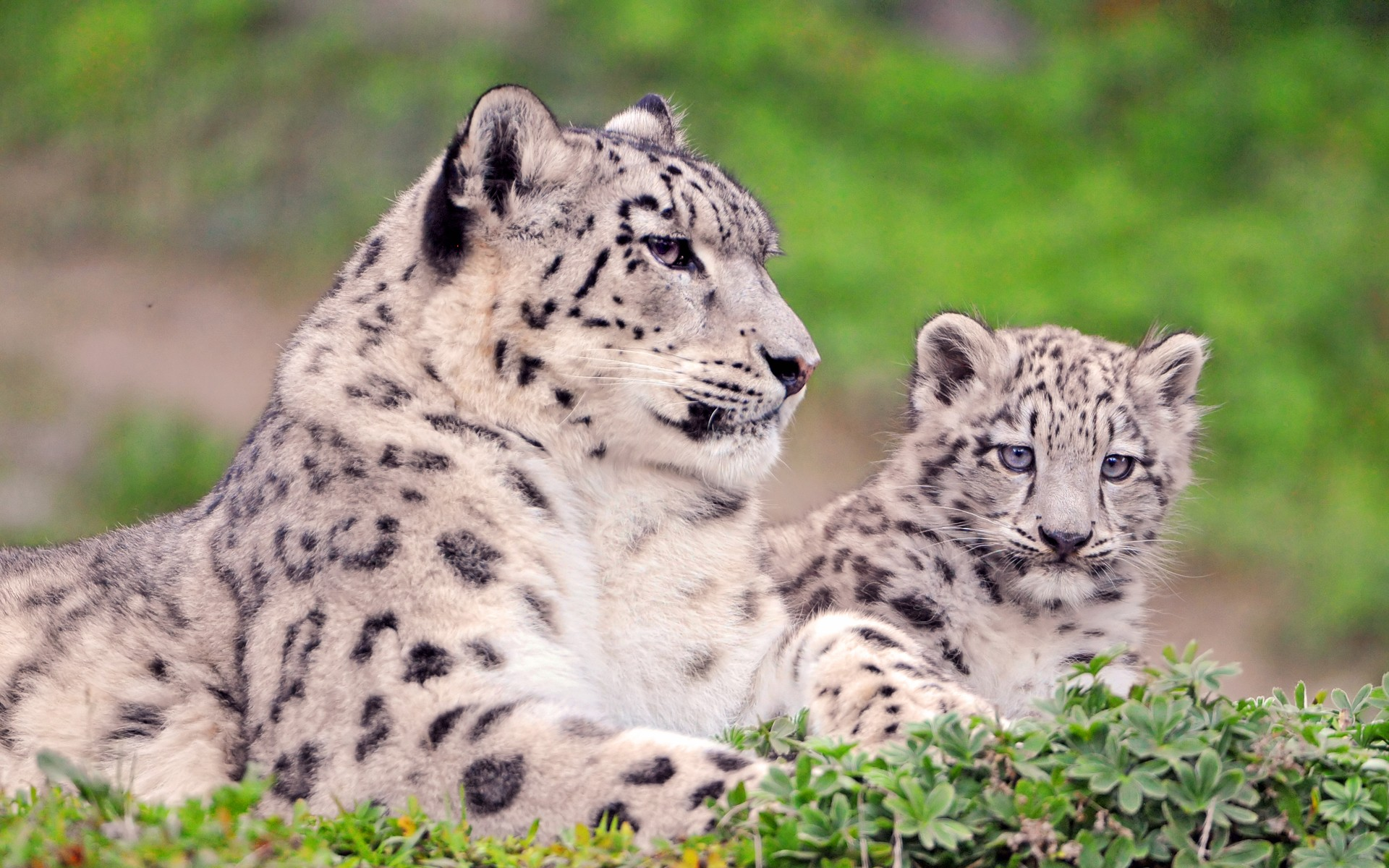 Snow Leopard Cub HD Wallpaper