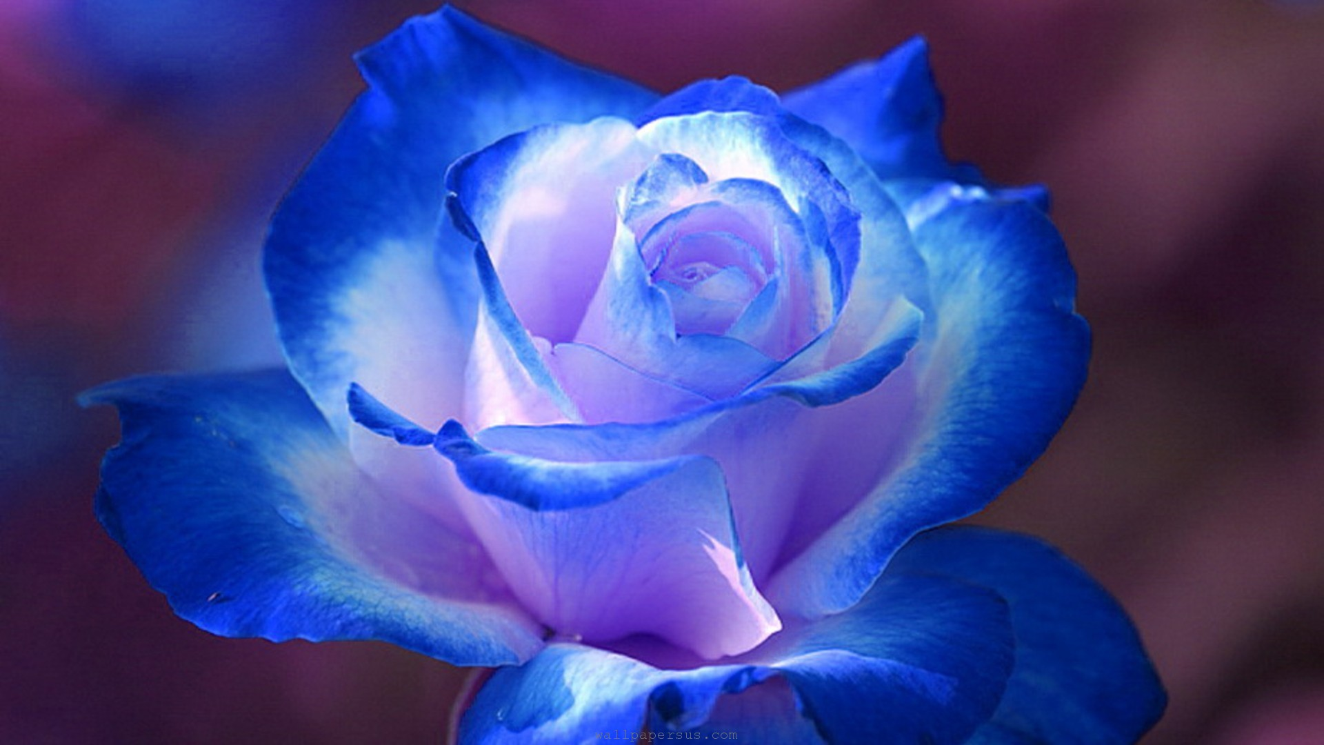 Blue Rose Hd Wallpaper Hd Latest Wallpapers