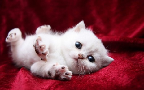 Cute White Kittens Wallpaper