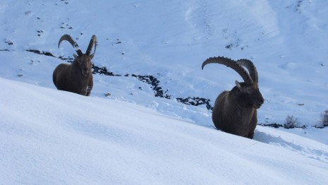 Alpine ibex Animal HD wallpaper
