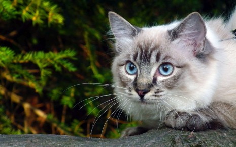 Beautiful Cat HD Wallpaper