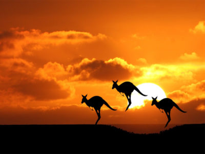 Kangaroos HD wallpaper