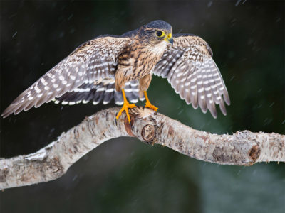 Falcon on Branch HD wallpaper
