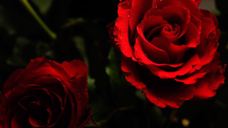 beautiful-roses-hd-wallpaper