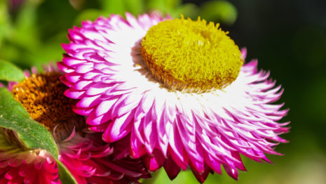Pink flower HD wallpaper