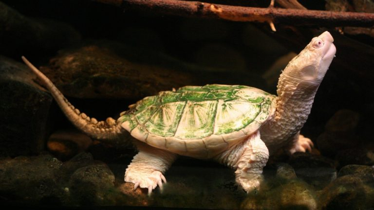 Albino Turtle HD wallpaper