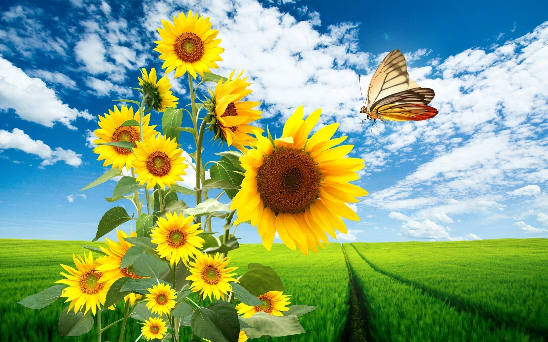 Butterfly on Sunflowers HD wallpaper