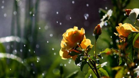 Flowers In Rain HD Wallpaper