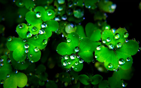 Dew drops on clovers HD wallpaper