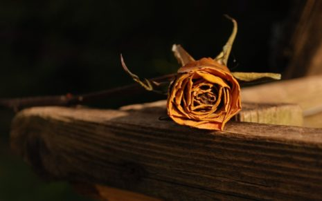 Dried Rose HD wallpaper