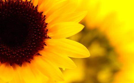 Sunflower beauty HD wallpaper