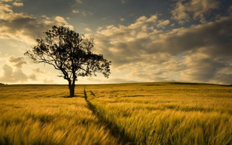 Tree in the golden field HD wallpaper