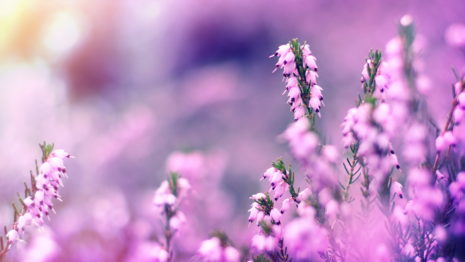 Lavender flowers HD wallpaper