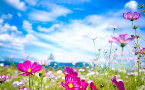 Pink Summer Flowers HD wallpaper