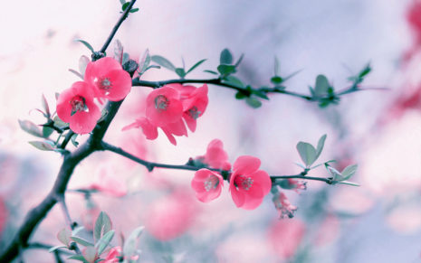 Pinkish spring HD wallpaper