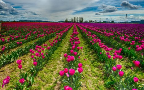 Purple Tulips HD wallpaper