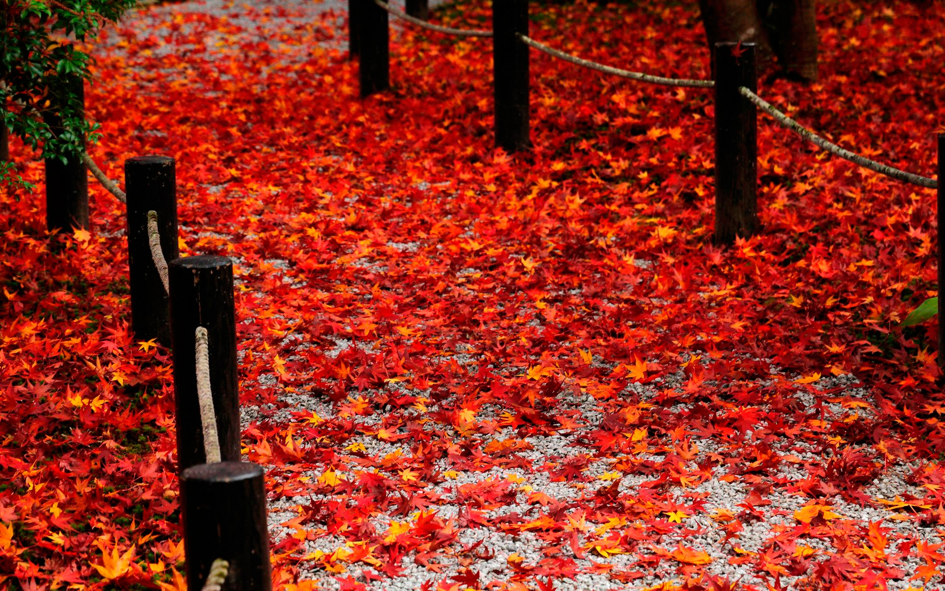 Red Leaves HD wallpaper  HD Latest Wallpapers