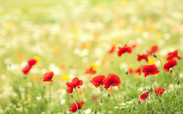 Redish flowers HD wallpaper
