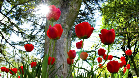 Garden of Red tulips HD wallpaper