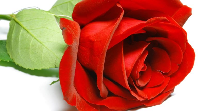 Natural Red Rose HD wallpaper