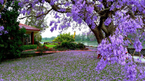 Purple blooming tree HD wallpaper