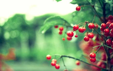 Red berries HD wallpaper