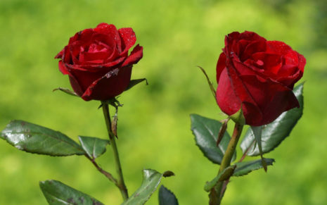 Twin Red Roses HD wallpaper