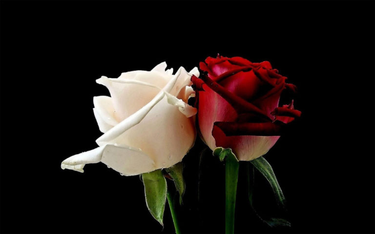 White and red rose HD wallpaper