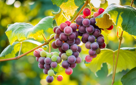 Grapes under the leafs HD wallpaper