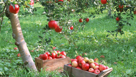 Picking apples HD wallpaper