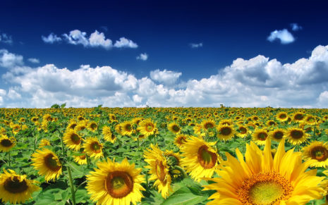 Summer Sunflowers HD wallpaper