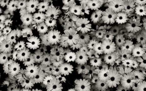 White daisies HD wallpaper